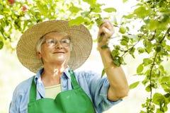 Starsza kobieta w sadzie zdjęcia royalty free