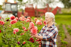 Starsza kobieta z dalia kwiatami przy lato ogródem Zdjęcia Stock