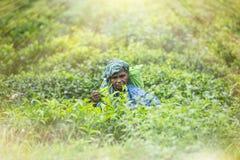 Starsza kobieta zbiera herbaty obraz royalty free