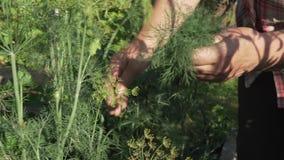 Starsza kobieta zbiera uprawy w ogródzie, drzeje daleko delikatne gałąź zielony koperu zapasu materiału filmowego wideo zbiory