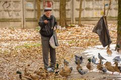 Starsza osoba mężczyzna karmi kaczki na brzeg staw w spadku Rosja, Październik 2017 Zdjęcie Royalty Free