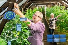 Starsza para pracuje przy rolną szklarnią Fotografia Stock
