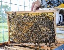 Starsza pszczelarka trzyma pszczoły honeycomb z pszczołami w jego ręce pszczoła wyszczególniający miód odizolowywający macro brog Zdjęcia Royalty Free