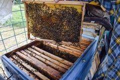 Starsza pszczelarka trzyma pszczoły honeycomb z pszczołami w jego ręce pszczoła wyszczególniający miód odizolowywający macro brog Obrazy Royalty Free