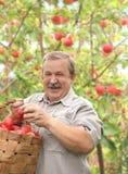 Starsze osoby obsługują zbierać jabłka fotografia royalty free