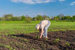 Starszego kobiety flancowania pomidorowa rozsada w wiosna ogródzie Obraz Royalty Free