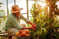 Starszej kobiety zgromadzenia średniorolna uprawa pomidory przy szklarnią na gospodarstwie rolnym uprawiający ziemię, uprawiający zdjęcia stock