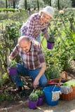 Starszej osoby pary ogrodnictwo w podwórku Zdjęcia Stock