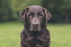 Starszy Czekoladowy labrador w ogródzie zdjęcia royalty free