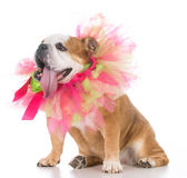 starszy kobieta pies Obrazy Royalty Free