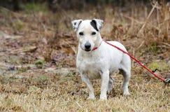 Starszy kobiety Jack Russell Terrier pies zdjęcia stock