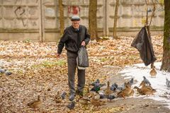 Starszy mężczyzna karmi kaczki na brzeg staw w spadku Rosja, Ramenskoye, Październik 2017 Zdjęcie Royalty Free