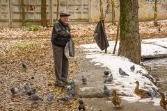 Starszy mężczyzna karmi kaczki na brzeg staw w spadku Rosja, Ramenskoye, Październik 2017 Zdjęcie Stock