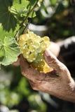 Starszy mężczyzna podnosi wiązkę winogrona Fotografia Royalty Free