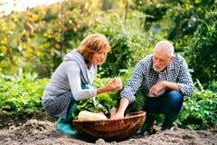 Starszy pary ogrodnictwo w podwórka ogródzie Fotografia Royalty Free