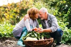 Starszy pary ogrodnictwo w podwórka ogródzie Obrazy Royalty Free