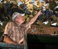 Starszy rolnik sprawdza świeżej gronowej uprawy Obraz Royalty Free