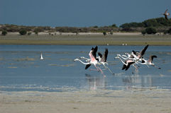 Start av större flamingo i Al Jazeerah Khor av UAE Arkivfoton