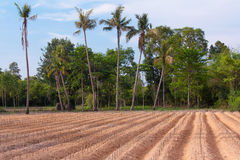 Start cultivation Cassava or manioc plant field Royalty Free Stock Photo