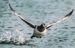 Start för långhalsgås som flyger royaltyfri foto