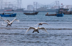 Start flying Swans while snowing. Start flying Swans in snowing in YanDunJiao gulf, RongCheng, ShangDong, China Stock Photo