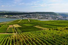 The start of a good wine. A beautiful vineyard on Rhine valley in Germany royalty free stock image