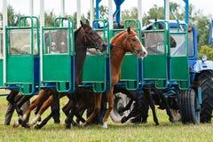 Start of Race. Horses leaving start-machine of flat race royalty free stock images