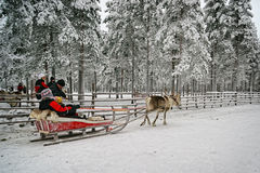 Start of the race on the reindeer sledges at the reindeer farm Stock Photography