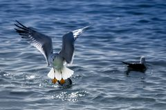 Start of a seagull royalty free stock photo