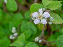 Wild, uncultivated blackberry flower with copy space. Start of spring in the hedgerow Royalty Free Stock Photos