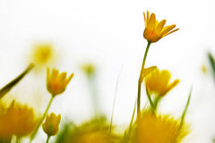 Start of spring. Impressionistic yellow flowers in front of a bright sky in spring Royalty Free Stock Photos