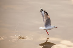 Start to fly ommon Gull Royalty Free Stock Images