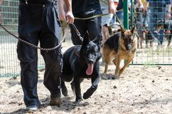 Start training dogs on a special area. Shepherd with the owners comes inside on the leashes stock photography