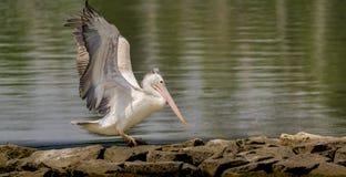 Start van een Pelecanus-philippensis - Vlek gefactureerde pelikaan stock afbeelding