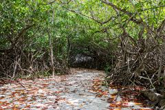 Mangrove Path with Dense Canopy. Start a walk down this sandy path under a solid canopy of mangrove trees Royalty Free Stock Photo