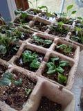 Starta din trädgård inomhus, dyker upp plantor i startknappkrukor Arkivbild
