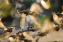 starta för sparrows Arkivfoton