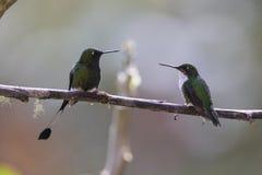 Startade racket-svans kolibrier - Ocreatus underwoodii Royaltyfri Fotografi