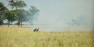 Startande grassfir i södra Sudan Arkivfoton