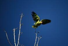 Startender Papagei lizenzfreie stockfotografie