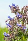 Startflowers Стоковые Фото