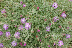 Starthistle Royalty Free Stock Images