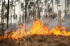 Starting of forest fire in pine stands Stock Photos