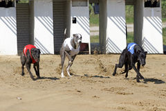 Starting gate at dog racing track with running dogs. Start of a greyhound whippet race. Greyhounds with starting gates stock photos