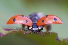 Starting Ladybird Stock Image