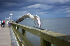 Starting laughing gull or sea gull from banister of old wooden landing pier in the coast of Baltic sea Royalty Free Stock Photos