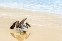 Starting Pelican royalty free stock photography