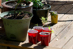 Starting seeds in pots and cups Royalty Free Stock Photo
