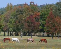 Starting to look like Fall. Horses and mules grazing with changing trees in the background Royalty Free Stock Images