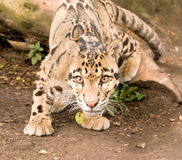 Startled Clouded Leopard Stock Photo